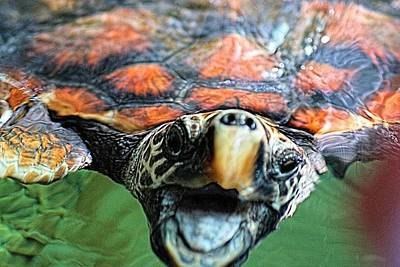 Photograph - Hawk Billed Turtle by David Rich