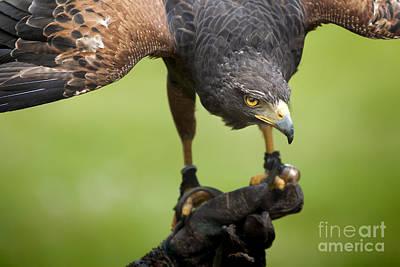 Red Tail Hawk Digital Art - Hawk Bird by Markus Gann