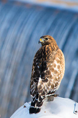 Rare Bird Photograph - Hawk By The Waterfall by Shelby  Young