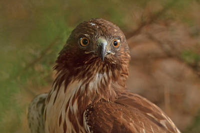 Photograph - Hawk Close Encounter by Beth Sargent
