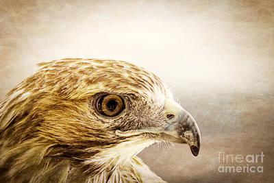 Hawk Art Print by Edward Fielding