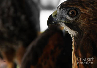 Red Tail Hawk Digital Art - Hawk Eye by Steven  Digman