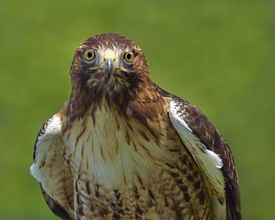 Photograph - Hawk Eyes by Tony Beck