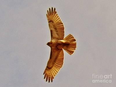 Hawk Flight Art Print by Judy Via-Wolff