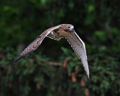Digital Art - Hawk In Flight by Angel Cher