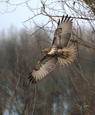 Red Tail Hawk Photograph - Hawk In Flight by Angie Vogel