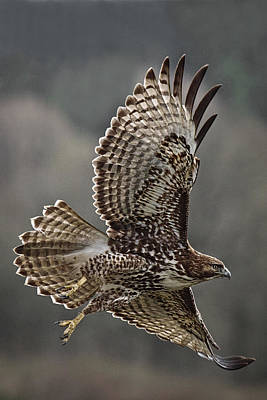 Photograph - Hawk In Flight D8184 by Wes and Dotty Weber