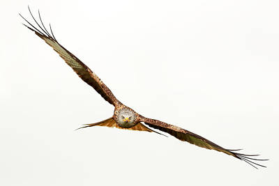 Photograph - Hawk In Flight by Grant Glendinning