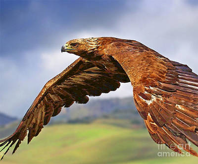 Photograph - Hawk In Flight by Herb Paynter
