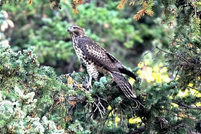 Photograph - Hawk In Pine Tree by Marilyn Burton