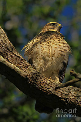 Red Shouldered Hawk Photograph - Hawk In Soft Light by Deborah Benoit