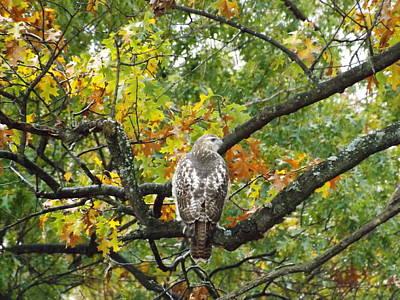 Hawk In The Tree Original by Dennis Pintoski