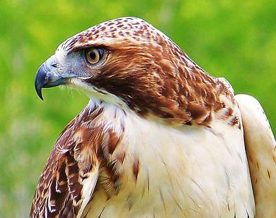 Hawk Is Focused Art Print
