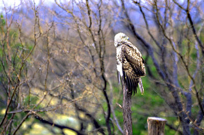 Photograph - Hawk by Linda Cox