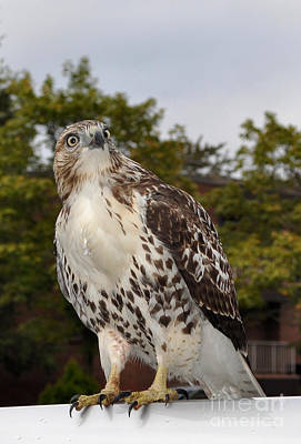 Red Tail Hawk Wall Art - Photograph - Hawk by Luke Moore