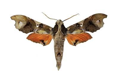 Cut Out Photograph - Hawk Moth by F. Martinez Clavel