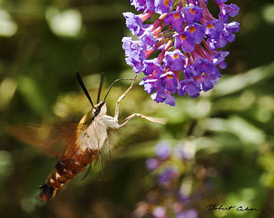 Photograph - Hawk Moth II by Robert Culver