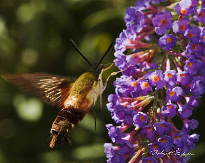 Photograph - Hawk Moth IIi by Robert Culver