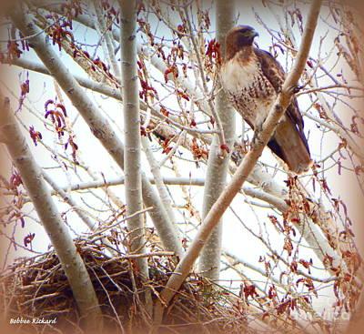 Photograph - Hawk Nesting IIi by Bobbee Rickard