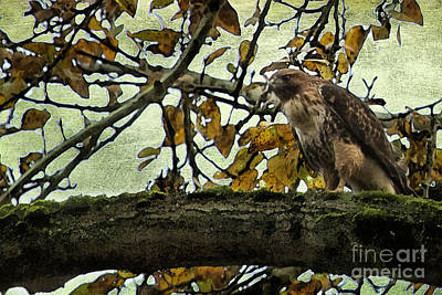 Photograph - Hawk On A Limb-no 1 by Belinda Greb