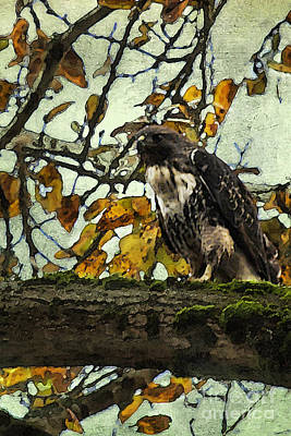 Photograph - Hawk On A Limb-no 2 by Belinda Greb