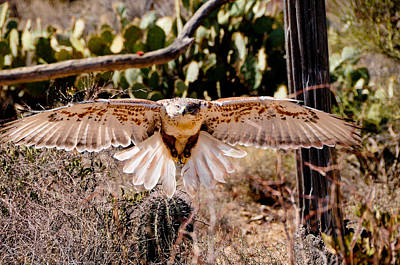 Photograph - Hawk On The Hunt by Don and Bonnie Fink