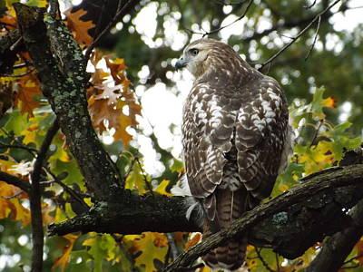 Hawk On The Tree 2 Original by Dennis Pintoski