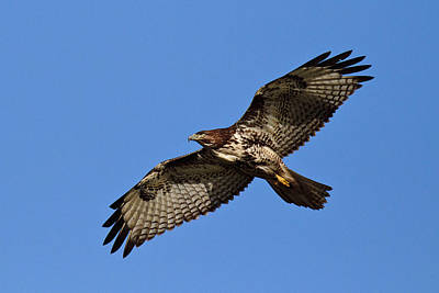 Photograph - Eagle On The Wing by Wes and Dotty Weber