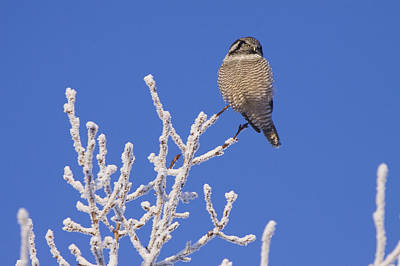 Winter Trees Photograph - Hawk Owl Perched On Hoarfrosted by Doug Lindstrand