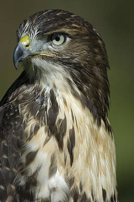 Photograph - Hawk by Patrick Boening