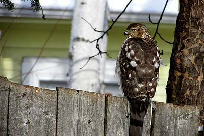 Photograph - Hawk Perching by Kimberly Mackowski
