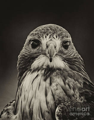 Photograph - Hawk Portrait by Les Palenik