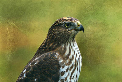 Hawk Portrait Print by Sandy Keeton