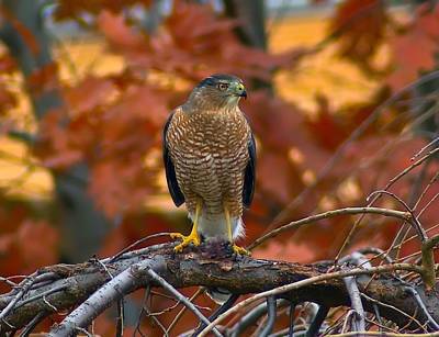 Travel Rights Managed Images - Hawk Royalty-Free Image by Ron Johnson
