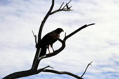 Photograph - Hawk Silhouette 2 by Gladys Turner Scheytt
