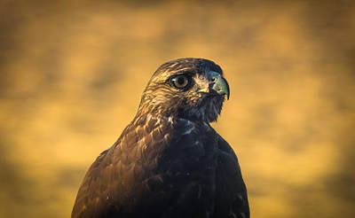 Hawk Stare Art Print by Marc Crumpler