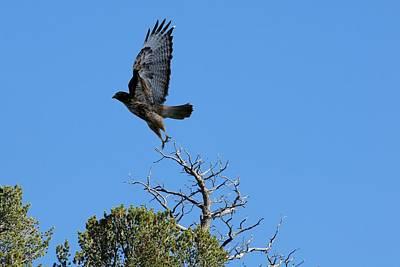 Photograph - Hawk Taking Flight by Marilyn Burton