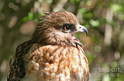 Hawk With An Attitude Art Print
