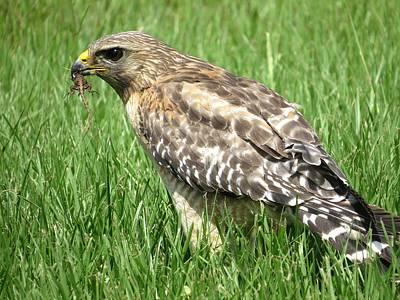 Hawk With Lizard Original by Zina Stromberg