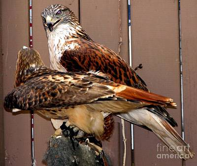 Falcon Photograph - Hawks by Rose Santuci-Sofranko