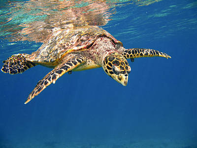 Photograph - Hawksbill by Alexey Stiop