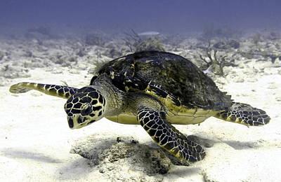 Hawksbill Caribbean Sea Turtle Art Print by Amy McDaniel