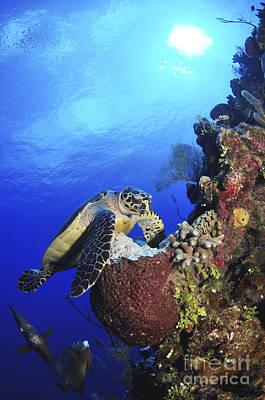 Animals Photos - Hawksbill Sea Turtle And Gray Angelfish by Amanda Nicholls