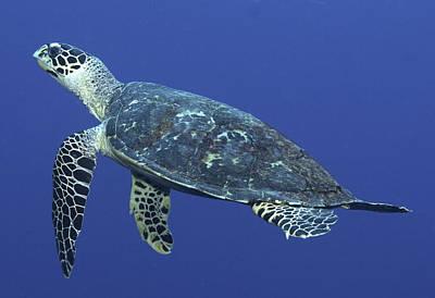 Hawksbill Turtle Art Print by Paula Marie deBaleau