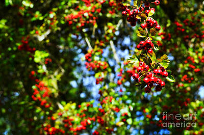 Photograph - Hawthorn Berries  by Mindy Bench
