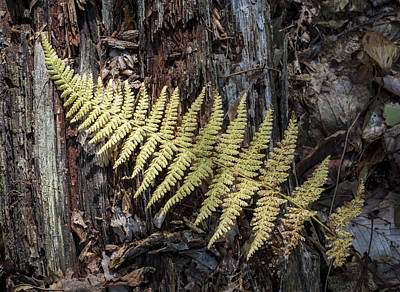 Photograph - Hay-scented Fern by Andrew Pacheco
