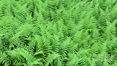 Photograph - Hay-scented Fern Patch by Alan L Graham
