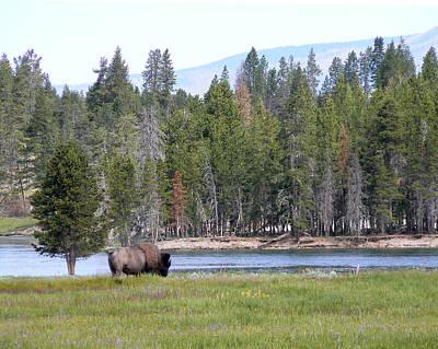 Photograph - Hayden Valley Bison by Laurel Powell