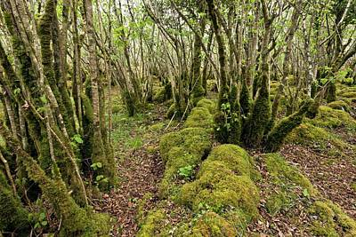 Burren Photograph - Hazel (corylus Sp.) Woodland by Bob Gibbons