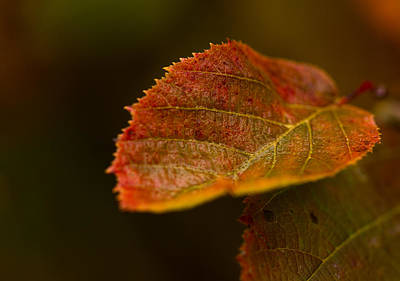 Photograph - Hazelnut Leaves by Haren Images- Kriss Haren